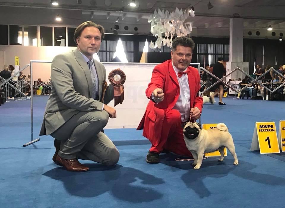 Polish champion pug